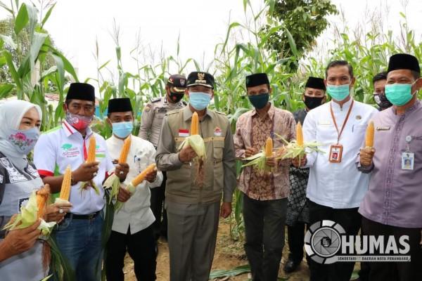 Program Ketahanan Pangan, Walikota Firdaus Panen Jagung di Kelurahan Agrowisata