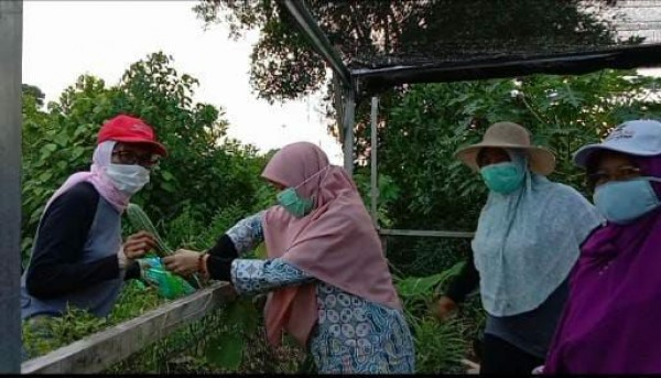 KWT Nirwana Berkarya Panen Sayur Bersama Suryani Calon Wakil Gubernur Kepulauan Riau