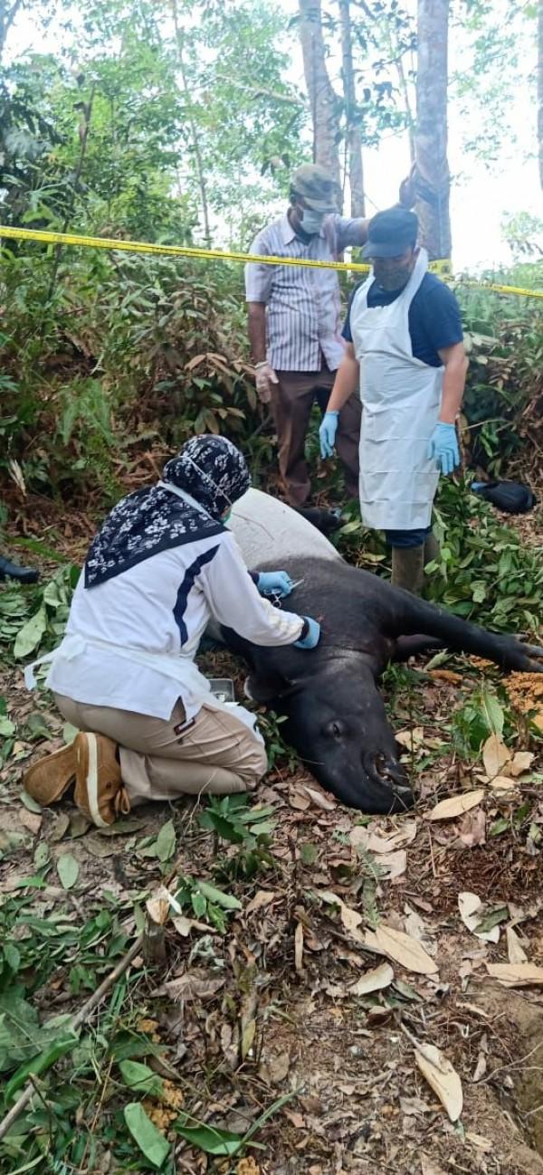 Pastikan Penyebab Kematian se Ekor Tapir, Polres Kuansing Bersama Tim BKSDA Riau Lakukan  Nekropsi