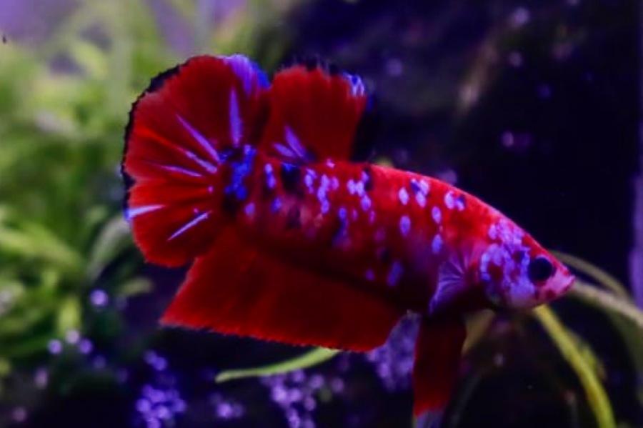 Ikan Cupang Jadi Bisnis Baru Dimasa Pandemi Corona, Omset Setengah Juta